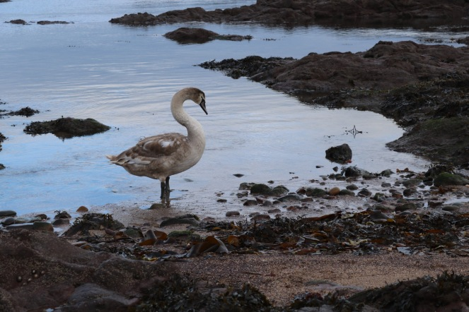 Things Helen Loves, swan in the bay at Eyemouth