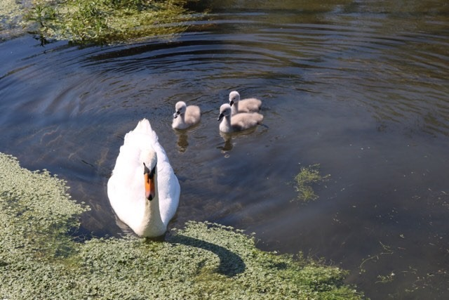 Things Helen Loves, swan and cygnets on the water