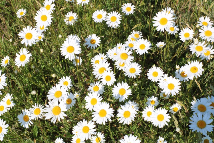 Things Helen Loves, image of daisies in a sunny field