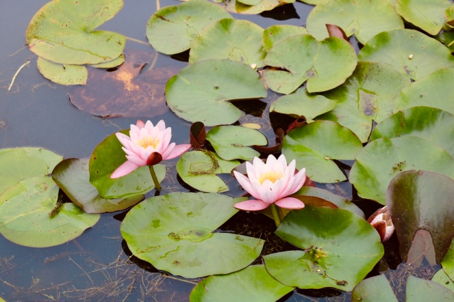 Things Helen Loves, picture of water flowers